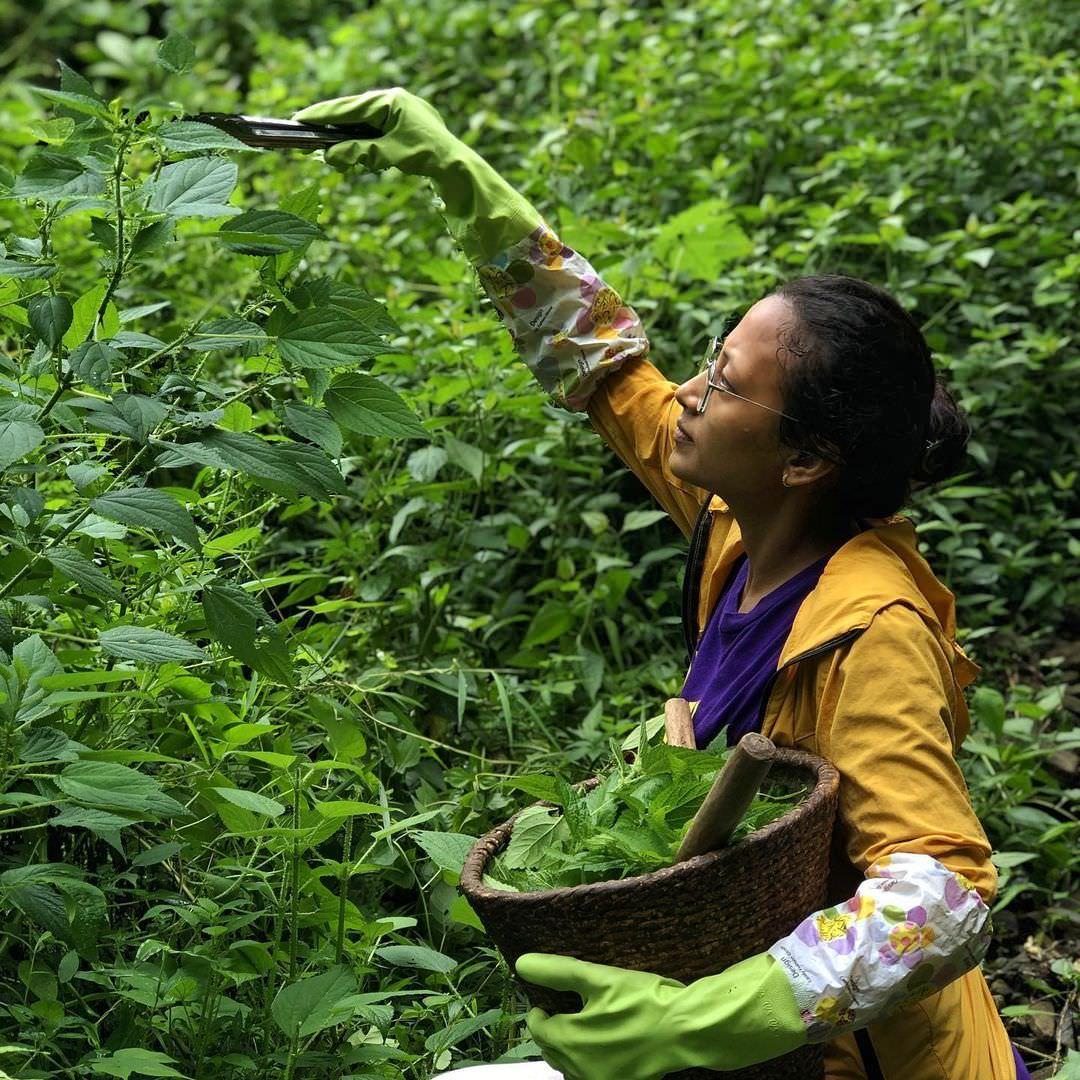 сбор листьев крапивы